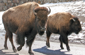 In this March 17, 2011 file photo bison run near the entrance to Yellowstone National Park in Gardiner, Mont. Montana's Gov. Brian Schweitzer said he will not allow any wild bison to be moved within the state because a federal agency has raised concerns about potential disease transmissions – throwing into doubt a proposal to relocate 68 of the animals from Yellowstone National Park to two Indian reservations.   Janie Osborne / ASSOCIATED PRESS File Photo