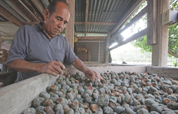 "In this 2010 file photo, peyote dealer Mauro Morales handles peyote buttons in Rio Grande City, Texas.  He is one of three ""Peyoteros,"" Texans licensed to sell peyote that grows wild near the border with Mexico to tens of thousands of Native American Church members across the U.S.  LM OTERO / ASSOCIATED PRESS FILE PHOTO"